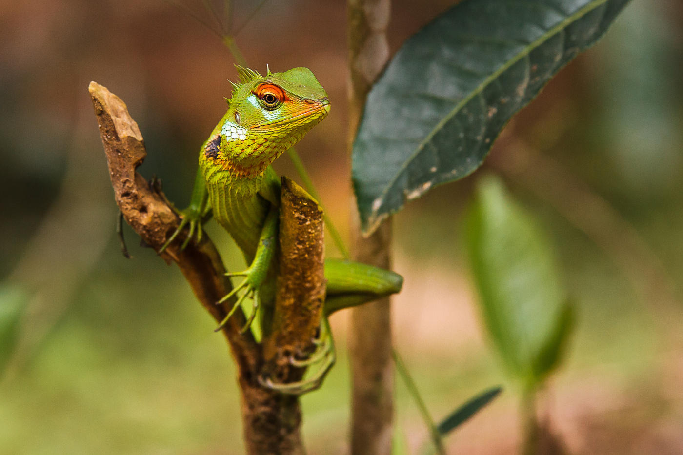 Green-forest-lizard- Calotes-calotes -Sinharaja